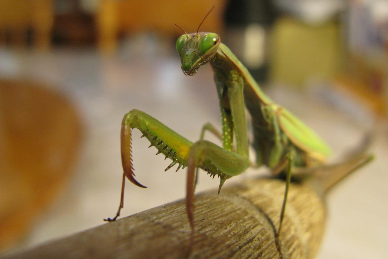 Fascinating Factoids About The Praying Mantis