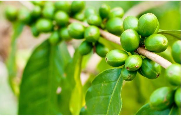 Side Effects Of Green Coffee Bean Extract