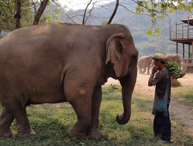 6. Abused Elephants In Thailand